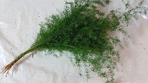 Asparagus Sprengeri Fern