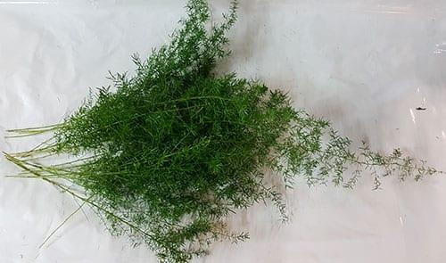 Asparagus Sprengeri Fern 2