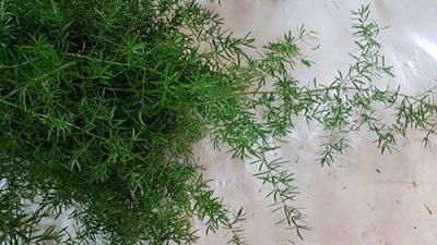 Asparagus Sprengeri Fern 3