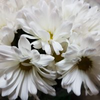 Chrysanthemum Spray Daisy White