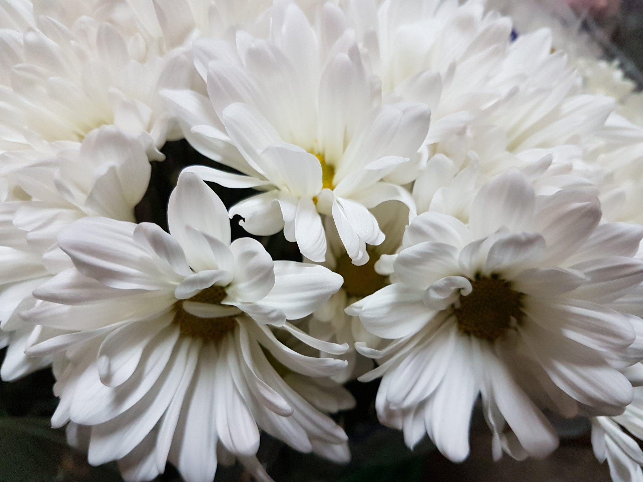 Chrysanthemum spray daisy white 3 bunches toronto bulk flowers chrysanthemum spray daisy white izmirmasajfo