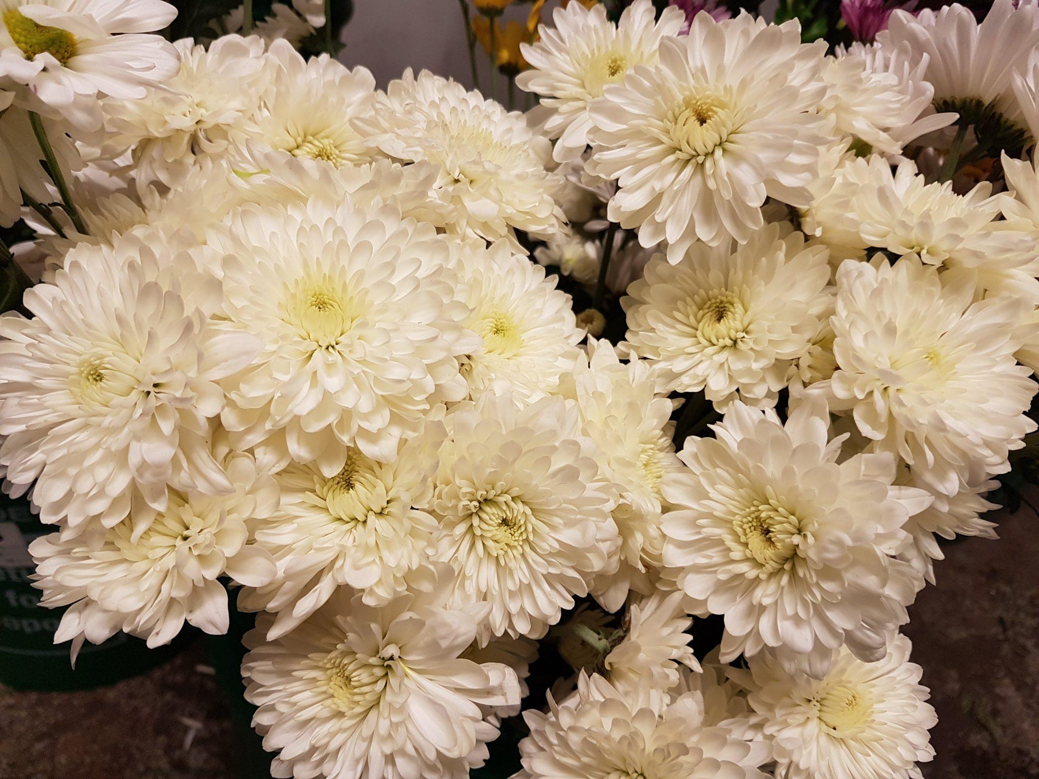 Bulk flowers chrysanthemum spray cushion white 3 bunches toronto bulk flowers chrysanthemum spray cushion white mightylinksfo