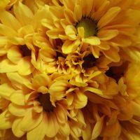 Chrysanthemum Spray Daisy Yellow