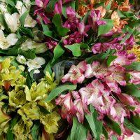Alstroemeria Peruvian Lily Assorted