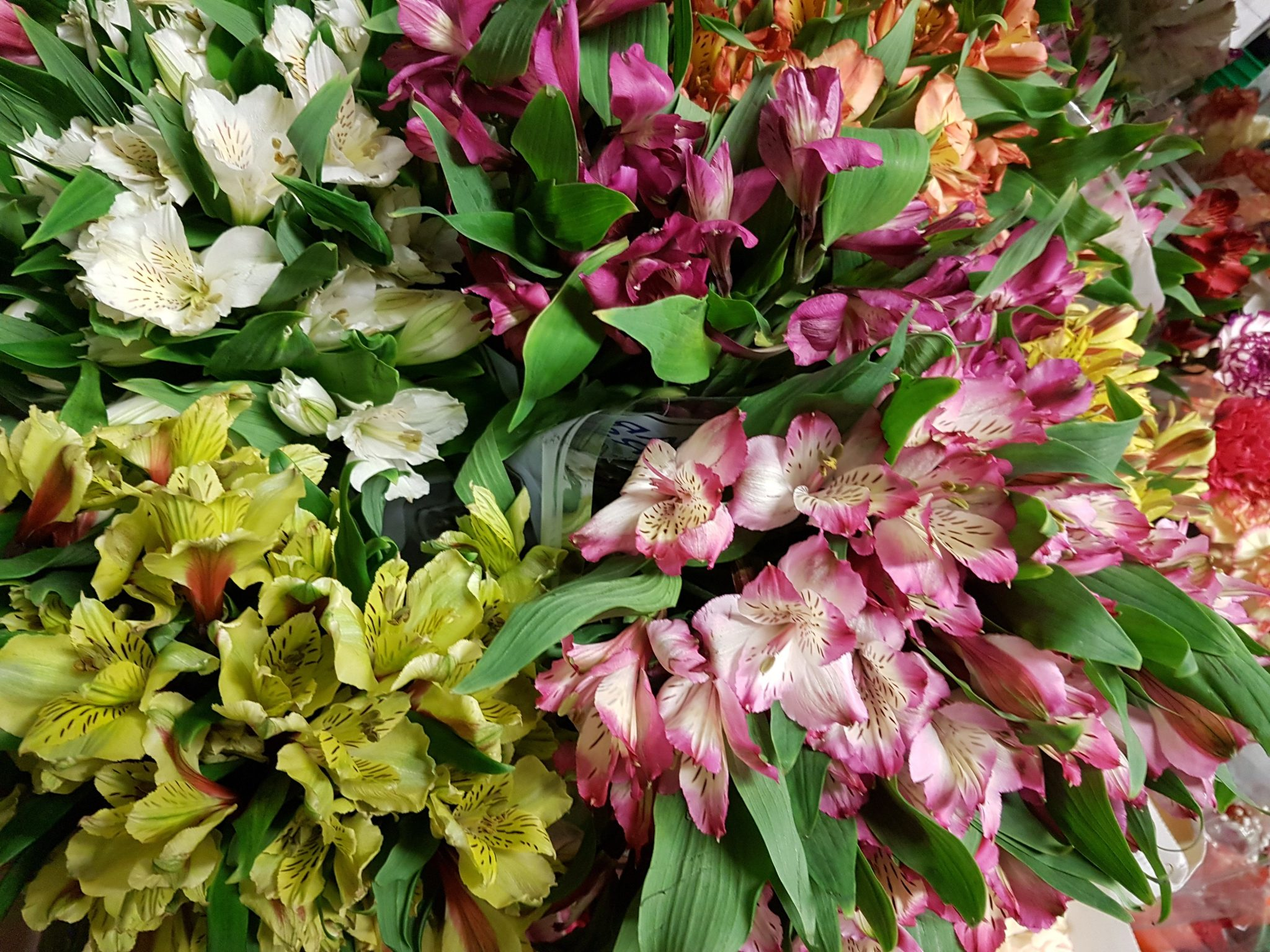 Alstroemeria Peruvian Lily Assorted Bunch Of 50 Stems