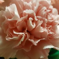 Carnation Light Pink Fancy
