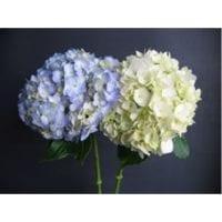 Blue and White Hydrangea