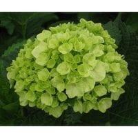 Hydrangea Green