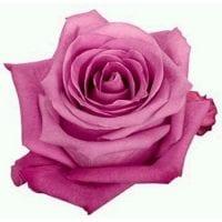 Soulmate Pink Roses