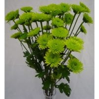 Chrysanthemum Spray Novelty Athos Green