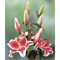 Lily Oriental Flowers Pink