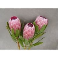 Protea Pink Ice Flowers