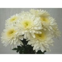 Chrysanthemum Single Cremon White
