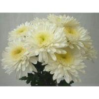 Chrysanthemum Single Cremon White