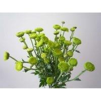 Chrysanthemum Spray Button Green