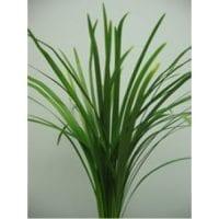 Lily Grass Greenery