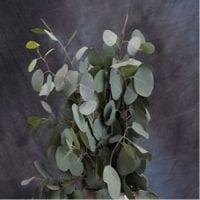 Eucalyptus Silver Dollar Greenery