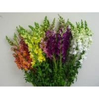 Snapdragon Flowers Assorted