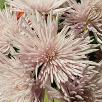 Chrysanthemum Single Spider Anastasia