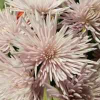Chrysanthemum Single Spider Anastasia