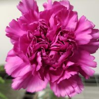 Carnation Lavender Fancy