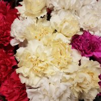 Carnation Assorted Fancy