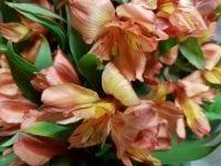 Alstroemeria Peruvian Lily Orange