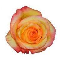 Bi-Color Roses Burgundy and Yellow