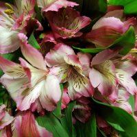 Alstroemeria Peruvian Lily Pink