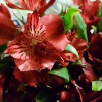 Alstroemeria Peruvian Lily Red