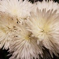 Chrysanthemum Spider Anastasia