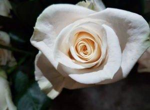 White Roses Vendela