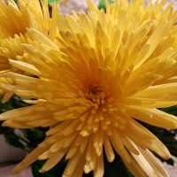 Yellow Spider Chrysanthemum