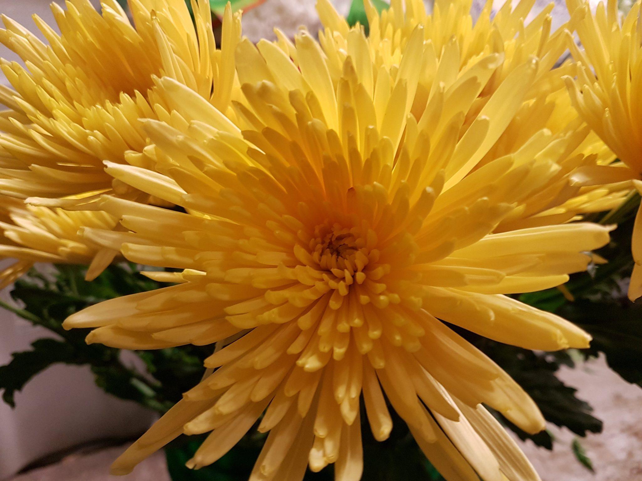 Yellow Spider Chrysanthemum Anastasia 50 Stems Toronto Bulk
