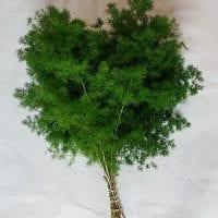 Asparagus Ming Fern