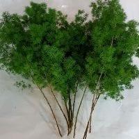 Asparagus Ming Fern 2