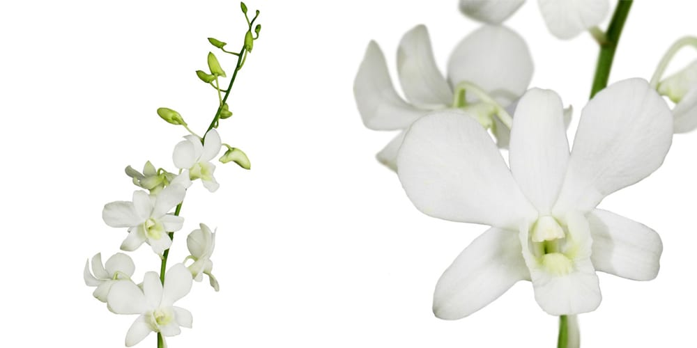 Bulk dendrobium orchids white bunch of 30 stems toronto bulk flowers bulk dendrobium orchids white mightylinksfo