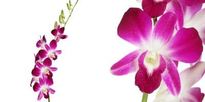 Sonnia DendrobiumOrchids