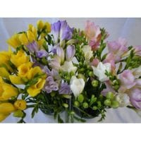 Freesia Assorted