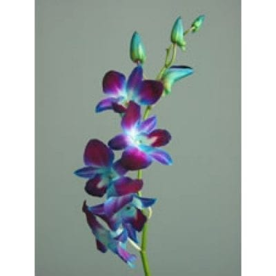 Dendrobium Orchids Tinted Blue