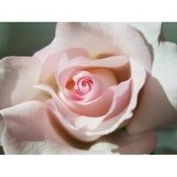 Nena Pink Roses