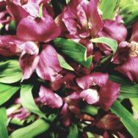 Alstroemeria Peruvian Lily Lavender