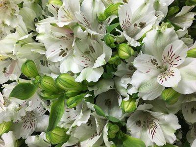 Peruvian Lily White