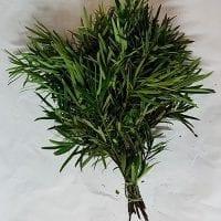 Podocarpus Greenery