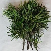 Podocarpus Greenery 2
