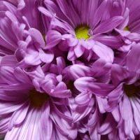 Chrysanthemum Spray Daisy