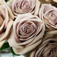 Amnesia Lavender Roses