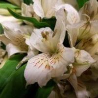 Alstroemeria Peruvian Lily White