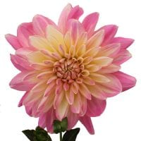 Light Pink Dahlia Flowers