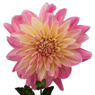 Light Pink Dahlia Flowers